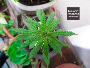 consumo-cannabis